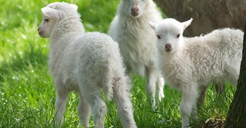 Lammfelle lassen sich schwierig reinigen und waschen
